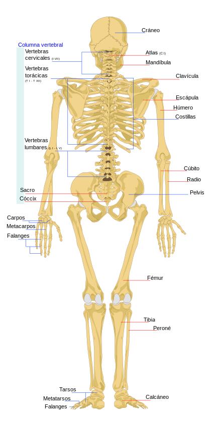 Cuántos huesos tiene el cuerpo humano? - Quora