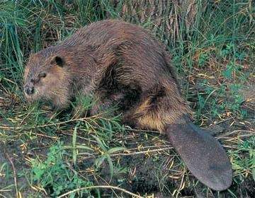Show Me A Picture Of A Bobcat >> How to tell the difference between a muskrat or a beaver - Quora