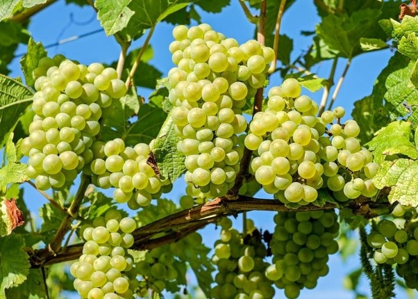 I am a grape farmer and I want to export my own grape  How shall I