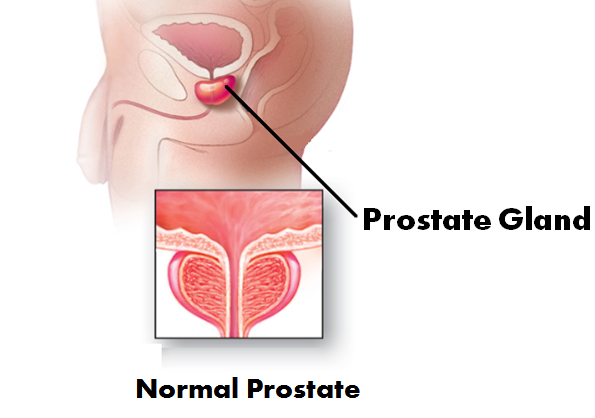 What is the function of prostate gland and seminal vesicles? - Quora