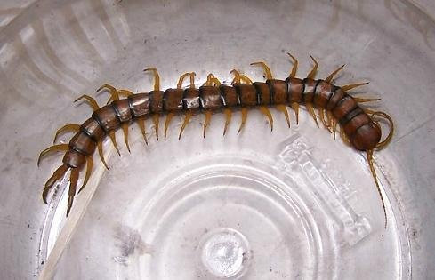 How to get rid of centipedes in my home - Quora