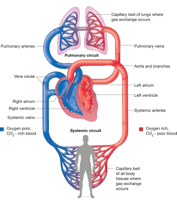 What Is The Function Of The Pulmonary Artery And Pulmonary Vein Quora