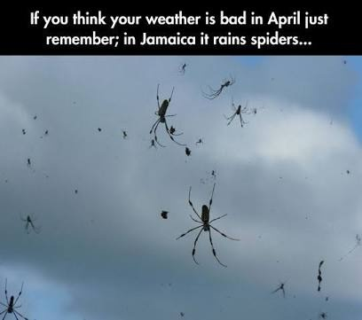 Why does it rain spiders in jamaica? How does this happen