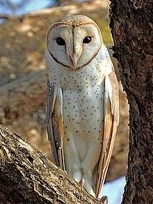 Animal Wisdom Why Are Owls Considered Wise Quora