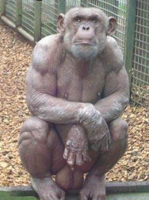 human sex Chimp
