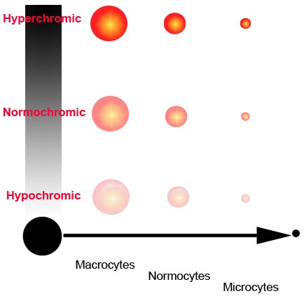 What Does Normocytic Normochromic Mean Quora
