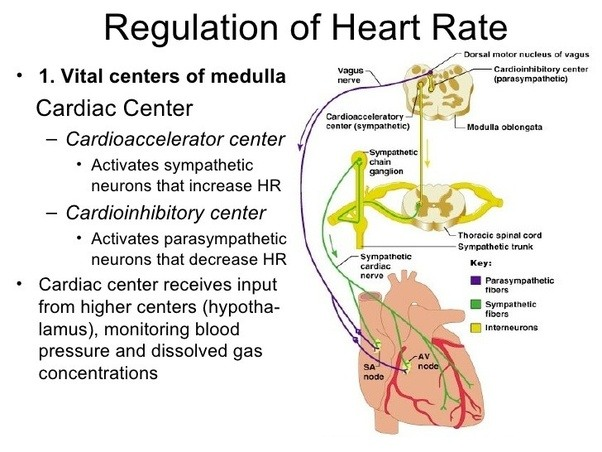 How does the human heart rate work? - Quora