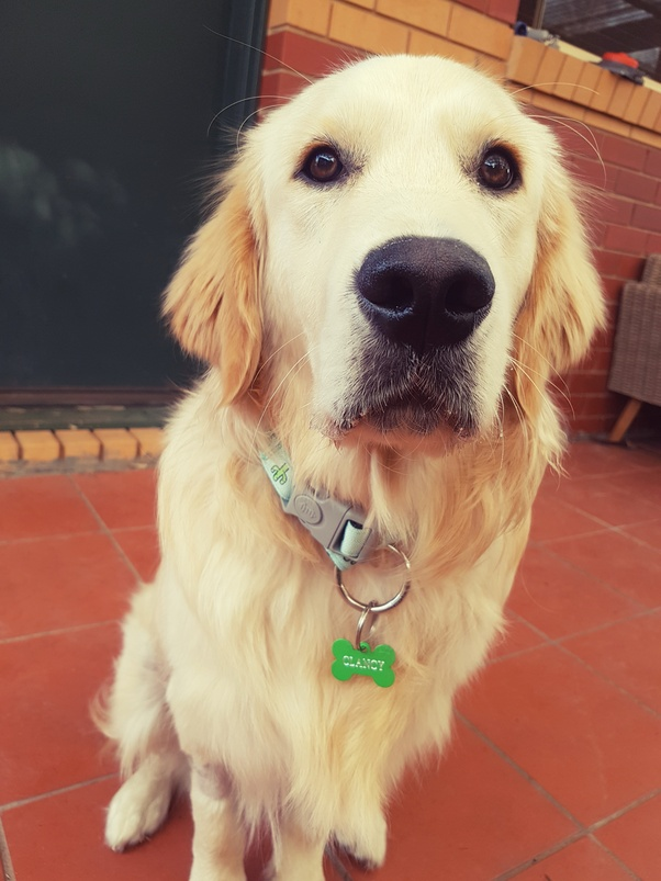 what is it like to have a golden retriever puppy quora