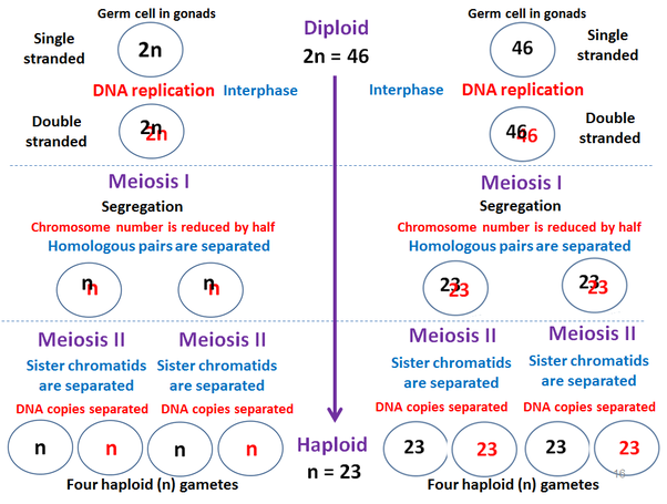 is meiosis 1 diploid or haploid