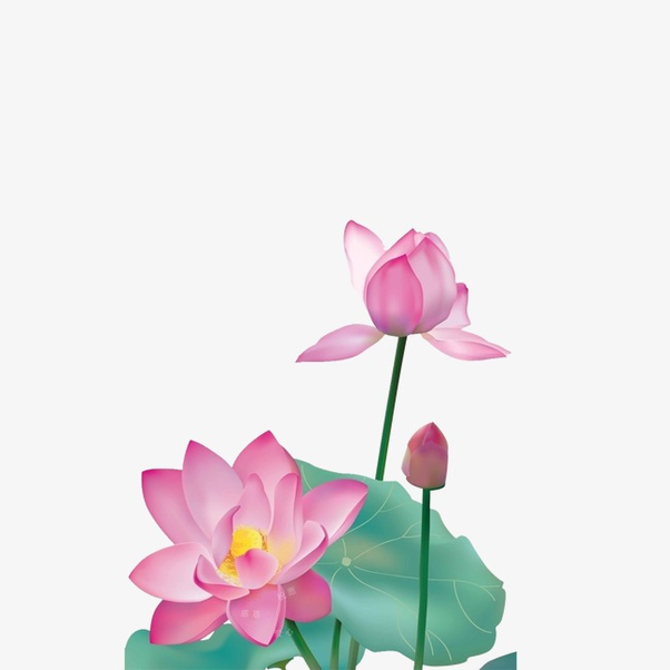 Why Is The Lotus The National Flower Of India Quora