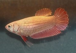 How To Know If A Female Betta Is Ready For Breeding Quora