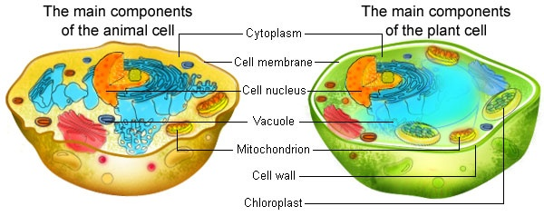 What Is Common Between Plant And Animal Cells Quora