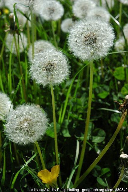 What Are The Fuzzy Things On A Dandelion Called Quora