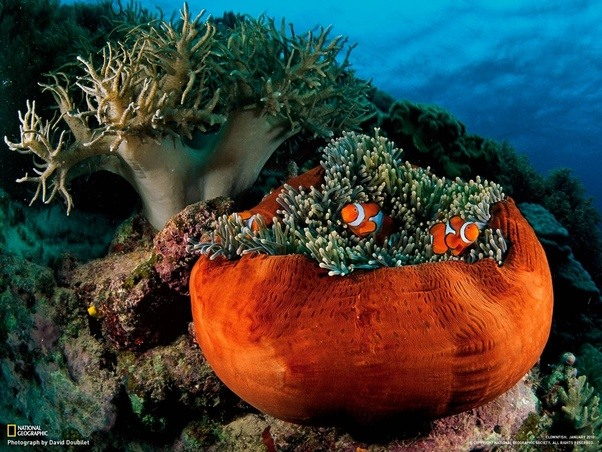 The Anemone Allows Clownfish To Swim Through Itself Unharmed Gaining Protection From Predators In Exchange For Clownfishs
