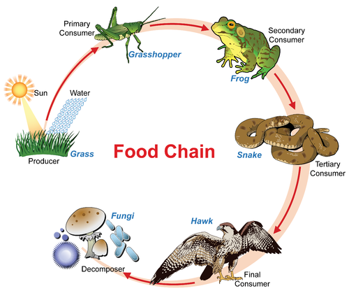 Different food chains examples.