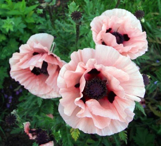 Do all poppy plants contain opium if not which ones dont quora danish flag mightylinksfo