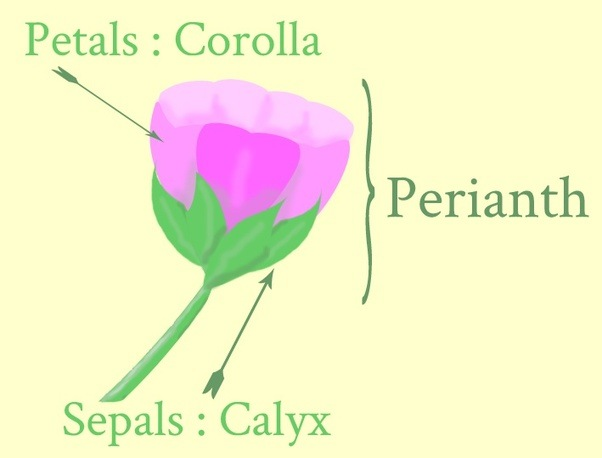 What is the perianth of a flower quora if calyx and corolla combined into form an undifferentiated partthen the individual part is called tepals mightylinksfo Images