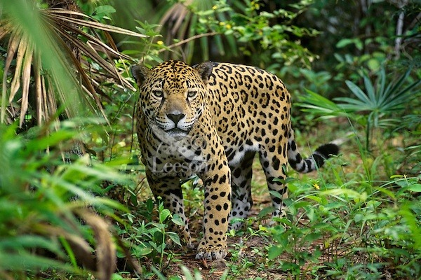 Superior The Jaguar Is The Apex Predator Of The Central And South American  Rainforests, Particularly The Amazon Rainforest. Hence, Itu0027s Basically The  True King Of ...