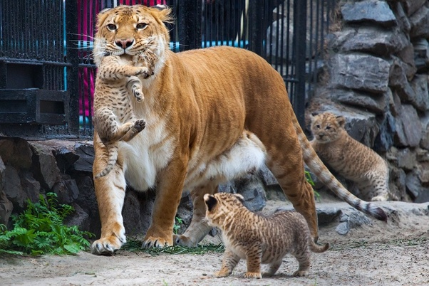 What are ligers? How do they reproduce? - Quora