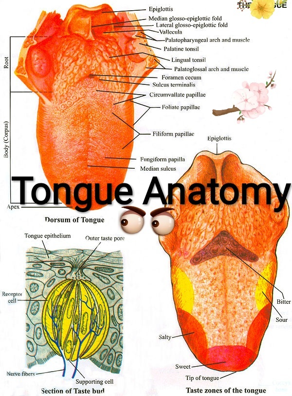 Anatomy What Is A Picture Of The View Of The Uvulatonsiltongue