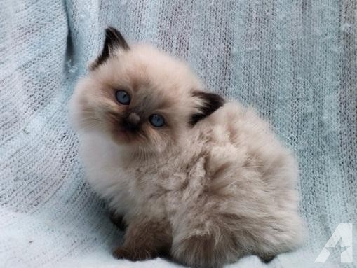 Why Are Ragdoll Cats So Cute Quora