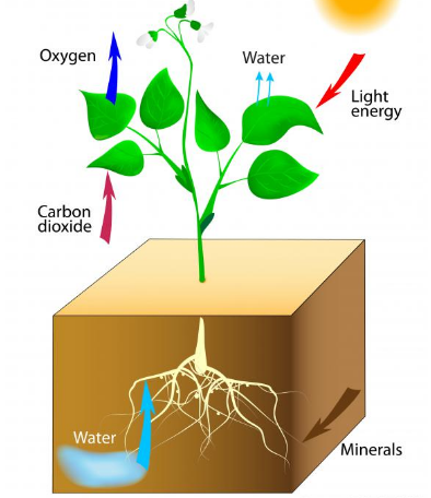Why is chlorophyll needed for photosynthesis quora photosynthesis is the transformation of carbon dioxide and water into glucose and oxygen six carbon dioxide molecules co2 and six water molecules h2o ccuart Gallery