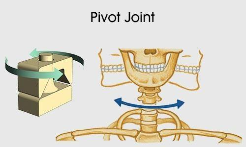 What Is The Difference Between A Hinge Joint And A Pivot