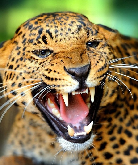 Jaguar Hissing: Which One Is Stronger, A Jaguar Or A Puma?