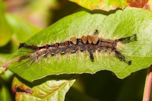 What types of caterpillars are poisonous? - Quora