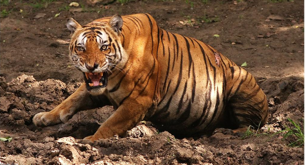 How to compare the sound of a tiger to one of a lion - Quora