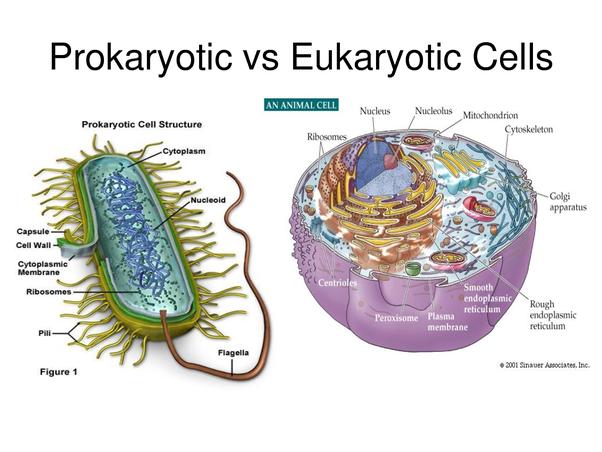 Are prokaryotes more complex than eukaryotic cells? - QuoraQuora