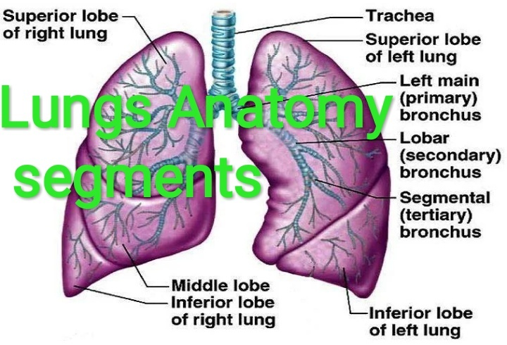 What Is The Function Of The Left Lung How Does It Differ From The
