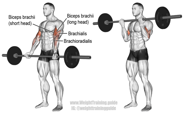 what is the barbell curl used for