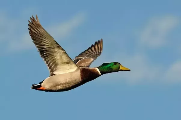 the mallard duck is the most common wild duck in the northern hemisphere with the males iconic green head which gleams in the sun the mallard is one of - A Picture Of A Duck