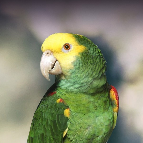 Do parrots know what they're saying? Or are they just repeating ...