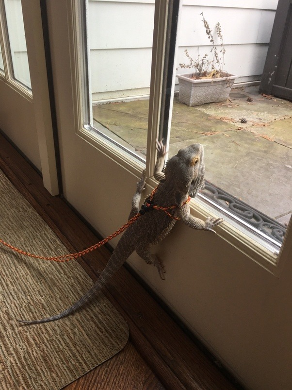 How to take care of a fully grown bearded dragon - Quora