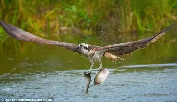 Why are the fish caught by an osprey often upside down for Osprey catching fish