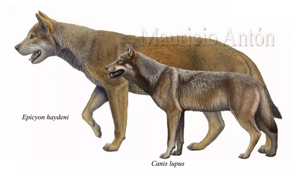 how big was the dire wolf quora