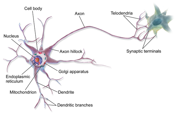 What is another name for a nerve cell quora neuron mainly consists of three parts ccuart Image collections