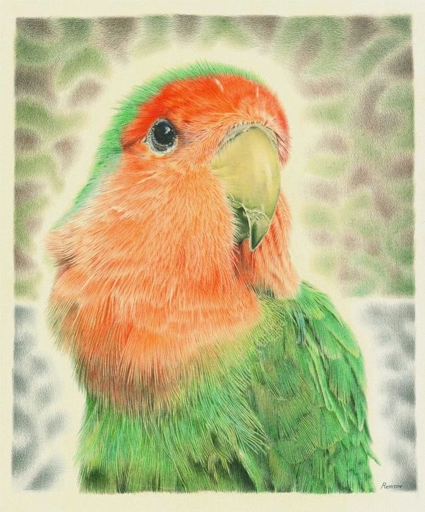 I am a pencil artist and i just finished a coloured pencil drawing of my little feathered friend pilaf many people call my drawings hyper photorealistic