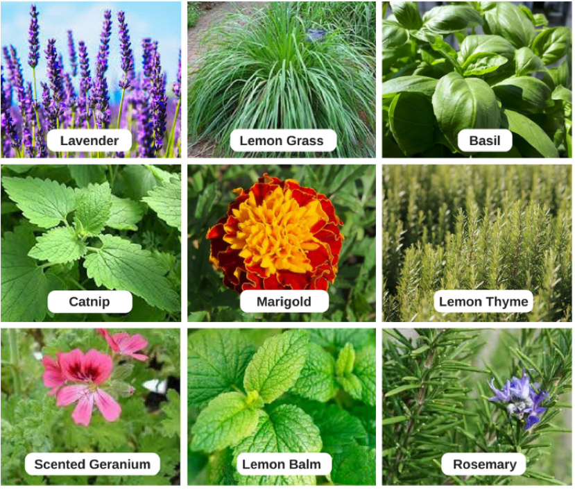 Which Is The Best Indoor Plant To Keep Mosquitoes Away Quora