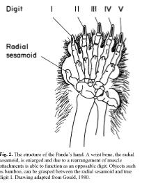 ¿Por qué los humanos tienen 5 dedos?  ¿Por qué no 4 o 6?