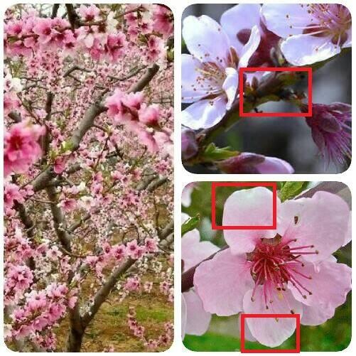 Tips Membedakan Bunga Sakura Dan Bunga Ume Tips Liburan Di Jepang Jalan Jalan Ke Jepang