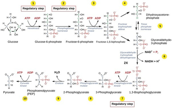 How is 36 atp produced in cellular respiration quora in glycolysis which happens in the cytoplasm one glucose molecule yields 2 atps and 2 nadh molecules nadh is another energy carrying molecule ccuart Image collections