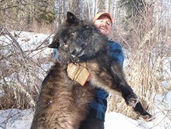 Could a pitbull take on a wolf in a fight? - Quora