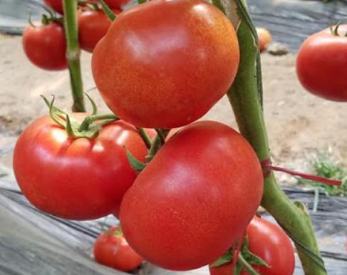 鉄分 トマト