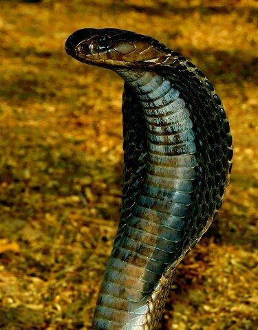 how to identify poisonous and non poisonous snakes in india quora
