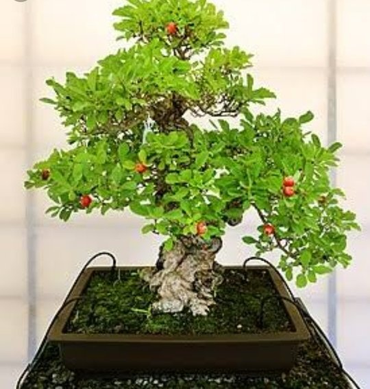 What Is The Price Of Bonsai Plants Quora