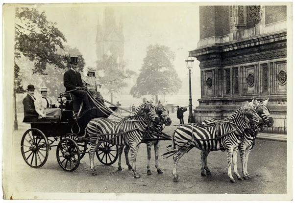 Can zebras be domesticated and trained to be ridden or draw