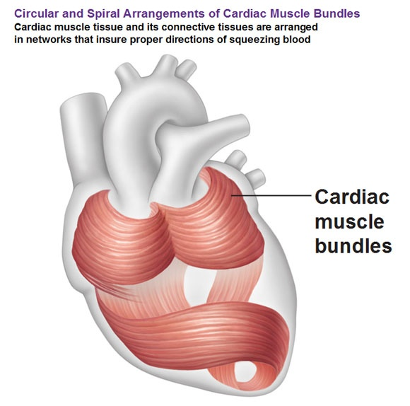 How many muscles and cells form a heart? - Quora